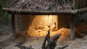 Meerkats im Schutz unter Licht Lizenzfreie Stockbilder