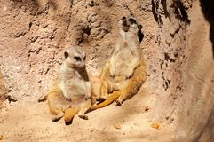Meerkats leaning against a rock. Stock Photography