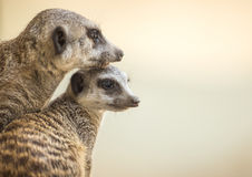 Meerkats lisiątko i matka Fotografia Royalty Free