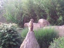 Meerkats. The little meerkats on the field of a Sand hill Stock Photo