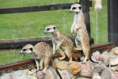 Meerkats. Royalty Free Stock Image