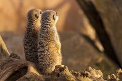 Meerkats on a log Royalty Free Stock Image