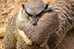 Meerkats at London Zoo. Close up of two meerkats hugging at London Zoo Stock Photos