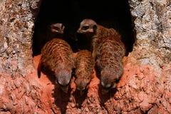 Meerkats looking down Stock Image