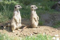 Meerkats, Looking In One Direction Stock Photos