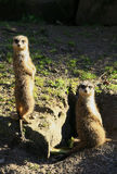 Meerkats looking out for danger Royalty Free Stock Image