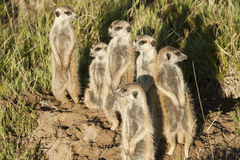 Meerkats looking out Stock Photography