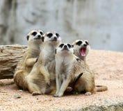 Meerkats Stock Images