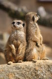 Meerkats on lookout Stock Photos