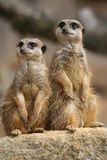 Meerkats on lookout royalty free stock photography