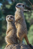 Meerkats on lookout. Two meerkats on guard duty, lookout Stock Photography