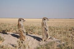 Meerkats in makgadikhadi Royalty Free Stock Image