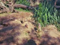 Meerkats. Meerkat family, mom and babies stock image
