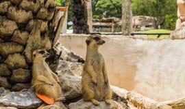 Meerkats Royalty Free Stock Photography