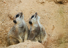 Meerkats mongoose observing. Birds nature Royalty Free Stock Images