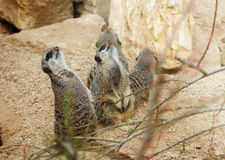 Meerkats mongoose observing. Birds nature Royalty Free Stock Photography