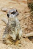 Meerkats mongoose observing. Birds nature Royalty Free Stock Photo
