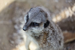 Meerkats mongoose observing Stock Image