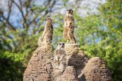 Meerkats mongoose observing Stock Photos