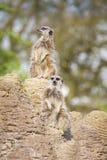 Meerkats mongoose observing Stock Images