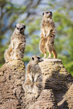 Meerkats mongoose observing Royalty Free Stock Photo