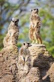 Meerkats mongoose observing Royalty Free Stock Photo