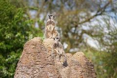 Meerkats mongoose observing Stock Image