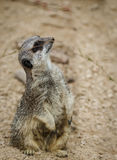 Meerkats mongoose observing. Nice meerkat mongoose observing at the zoo Royalty Free Stock Photography