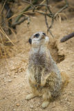 Meerkats mongoose observing Stock Photography