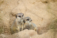 Meerkats mongoose observing Royalty Free Stock Image