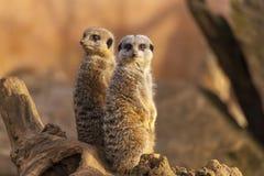 Meerkats na beli Zdjęcie Royalty Free