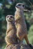 Meerkats na punkcie obserwacyjnym Fotografia Stock