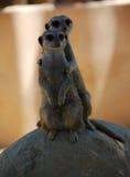Meerkats na rocha imagens de stock