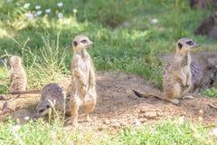 Meerkats, natural behavior, watching for enemies Royalty Free Stock Photos