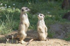 Meerkats, natural behavior, watching for enemies Royalty Free Stock Photography