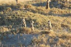 Meerkats nel Botswana/Sudafrica Fotografie Stock