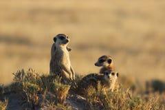 Meerkats nel Botswana/Sudafrica Fotografia Stock Libera da Diritti