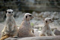 Meerkats nel parco della fauna selvatica di fota Fotografie Stock Libere da Diritti
