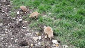 Meerkats nello zoo di Budapest archivi video