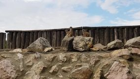 Meerkats nello zoo di Budapest video d archivio