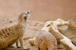 Meerkats next to bones Royalty Free Stock Images