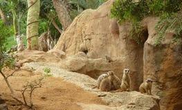 Meerkats no parque natural imagem de stock