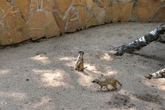 Meerkats Novosibirsk Zoo. Here are the meerkats Novosibirsk Zoo - funny rodents Stock Images