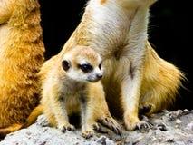 Meerkats obsiadanie na kopu rozpoznawania Obrazy Royalty Free