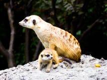 Meerkats obsiadanie na kopu rozpoznawania Zdjęcia Stock