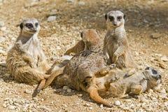 Meerkats od przyrody Południowa Afryka Obrazy Stock