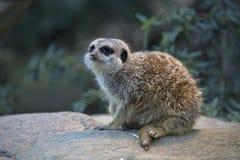 Meerkats od przyrody Południowa Afryka Obrazy Royalty Free