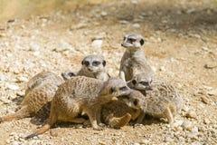 Meerkats od przyrody Południowa Afryka Obraz Royalty Free