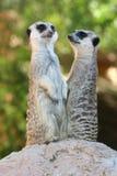 Meerkats oder Suricates Lizenzfreie Stockfotos