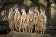 Meerkats On Guard Royalty Free Stock Images